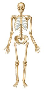 SkeletonAnterior