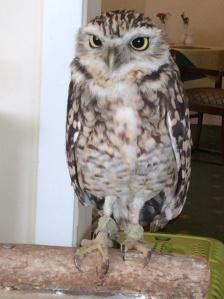 Little Owl (Athene)